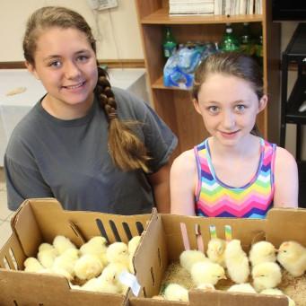 Кормление суточных цыплят в домашних условиях 432