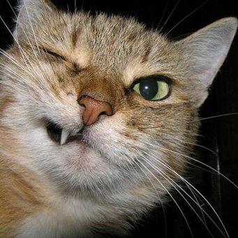 Почему у котов могут выпадать зубы