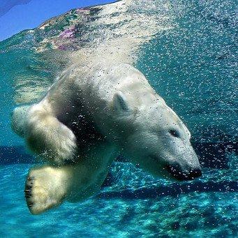 Белые медведи своими руками