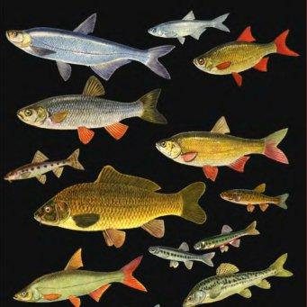 рыба семейства карповых фото
