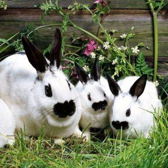 Прививки кроликам лапимун отзывы форум - f