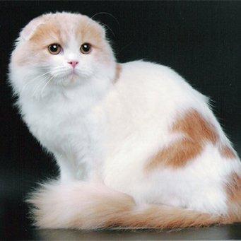 Почему сильно линяет шотландская кошка