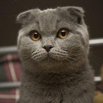 Сколько живут коты вислоухие