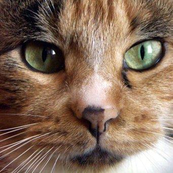 Окрас носа у кота