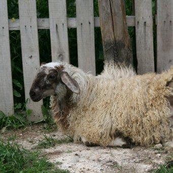 молодая еще не ягнившаяся овца