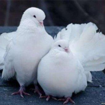 белые голуби картинки