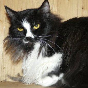 Фото черно-белый сибирский котов