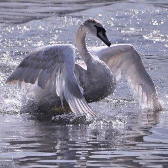лебеди живут