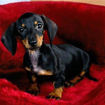 Такса - это охотничья порода собак, коротконогая и длинная: благодаря такому телу она отлично подходит для норных...