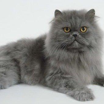 персидская голубая кошка