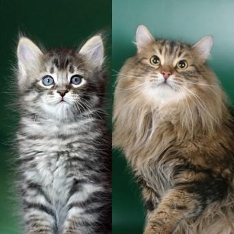В каком возрасте меняется цвет глаз у котенка