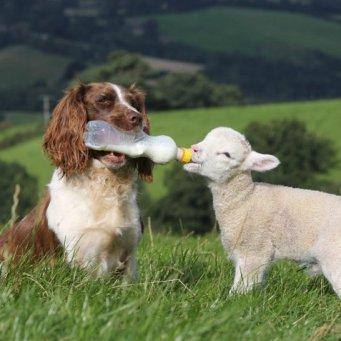 собаки пастухи породы фото