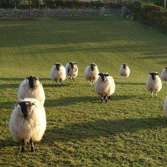 Сколько стоит овца романовской породы
