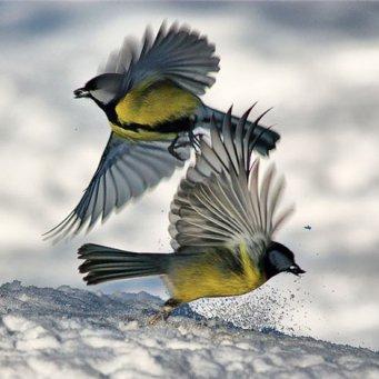 синицы зимой фото
