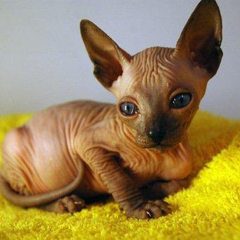 Коты на вязку донскими сфинксами