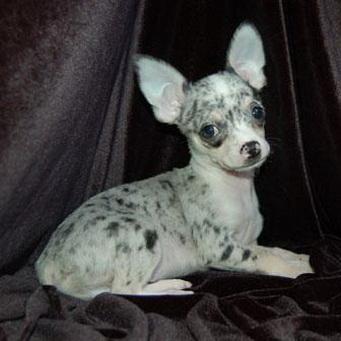 чихуахуа голубой окрас фото
