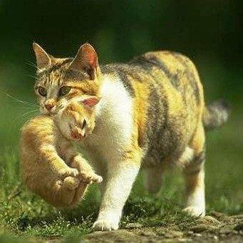 разноцветная кошка переносит котенка