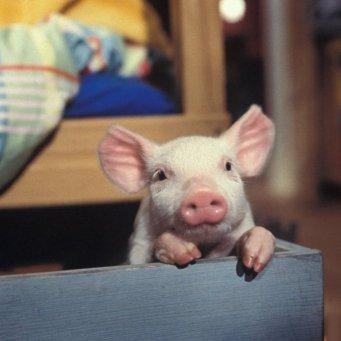 Свиноматка не подпускает поросят: что делать