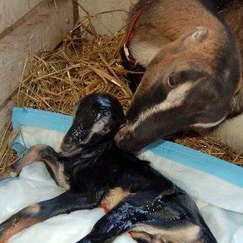 Сколько коза ходит беременной как определить беременность