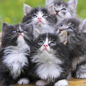 Колоть ли коту гамавит