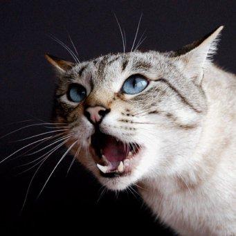 Почему старый кот кричит