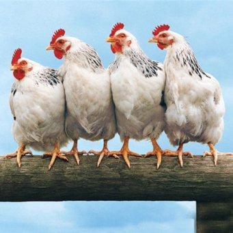 Звуки курицы: какие звуки издают куры?