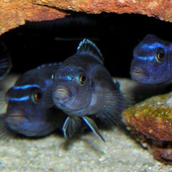 Меланохромис маингано (Мelanochromis cyaneorhabdos)