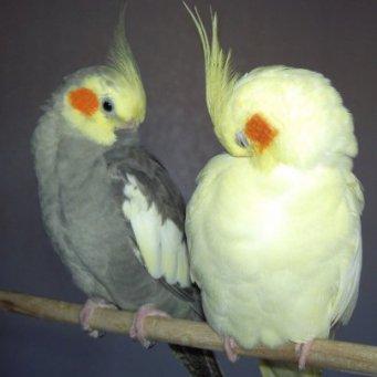 Всё о попугаях неразлучников - f525