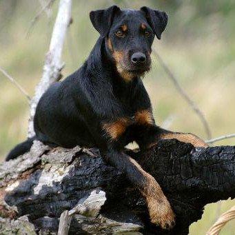 немецкий охотничий терьер фото