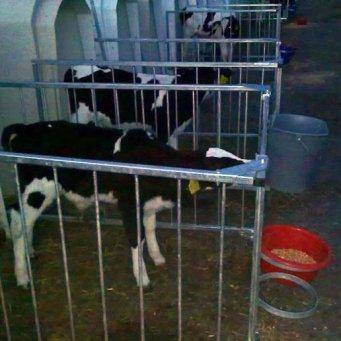 Как выращивать теленка в домашних условиях 840