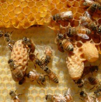 ... пчел: клиническая картина и лечение: www.8lap.ru/section/pchyely/aspergillez-pchel-klinicheskaya-kartina...