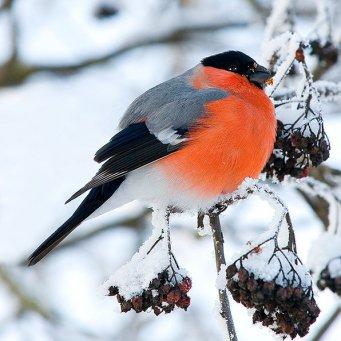 птицы снегири фото