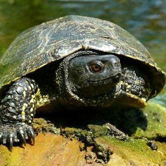 Содержание в домашних условиях болотной черепахи