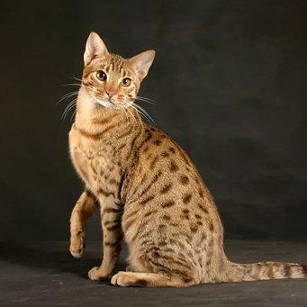 Порода кот камышовый
