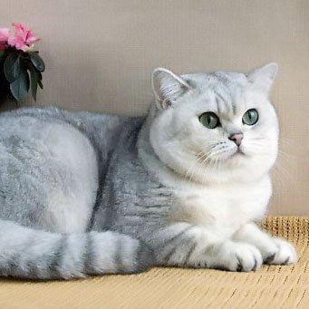 Описание породы британский кот