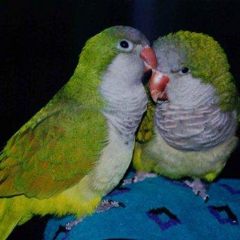 Всё о попугаях неразлучников - bfc