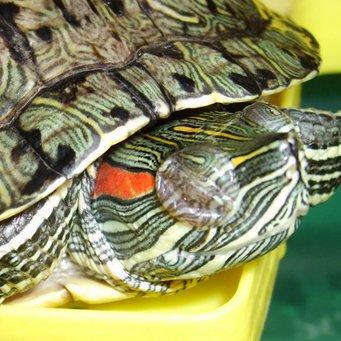 у черепахи не открываются глаза