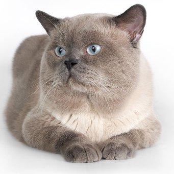 кошки породы блю пойнт