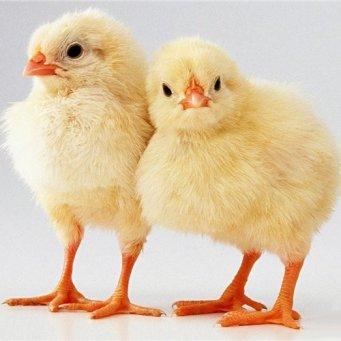 двухмесячные цыплята