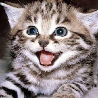 Можно ли котам давать ношпу в таблетках