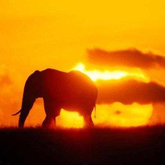 Индийский же слон не...  Представители индийского и африканского слона являются последними хоботными...