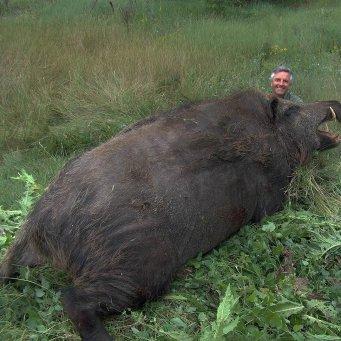 какой вес у дикого кабана