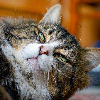 Воспаление в горле у кота