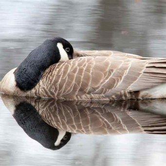 Водоем для гусей в домашних условиях