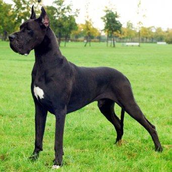 охранные породы собак для дома
