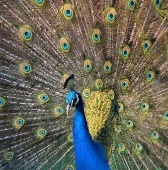 Перья жар птицы своими руками