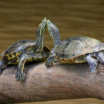 Черепахи домашние уход в домашних условиях