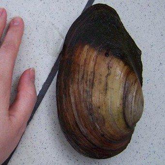 речные моллюски фото