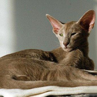 Кот сиамский ориентальный