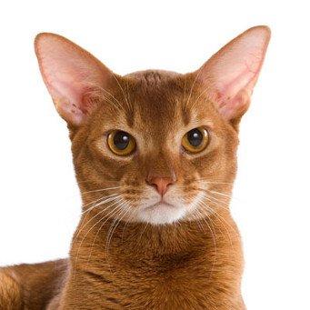 Абиссинская кошка соррель